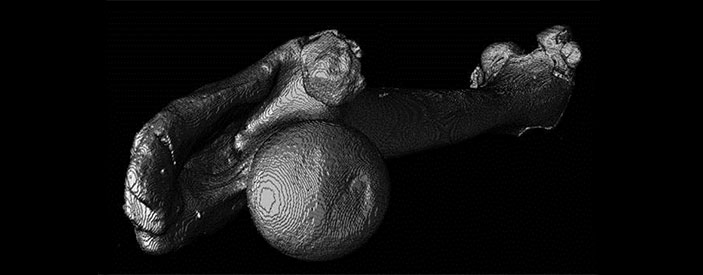femur scanned and reconstructed using micro-computed tomography